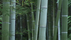 Bamboo 001 (stock movie HD material)