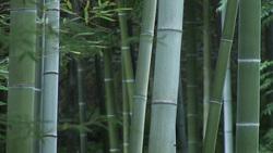 竹001(ストックムービーHD素材)
