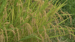 Rice 001 (stock movie HD material)
