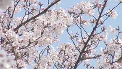 桜006(ストックムービーHD素材)