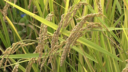 Rice 002 (stock movie HD material)